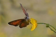 Farfalla (Daniele Buttolo)