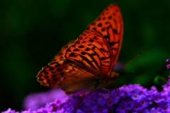 Farfalla (Luciano Micelli)