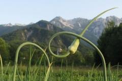 Fiori d'aglio (Laura Beltrame)